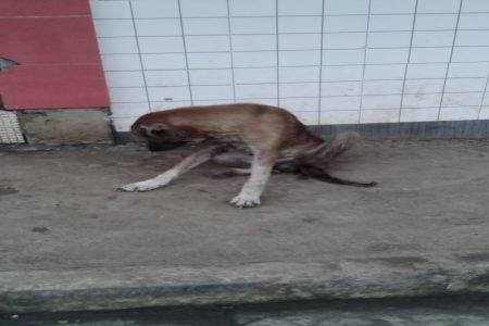 La miseria que se vive en Guinea Ecuatorial, a partir de los perros