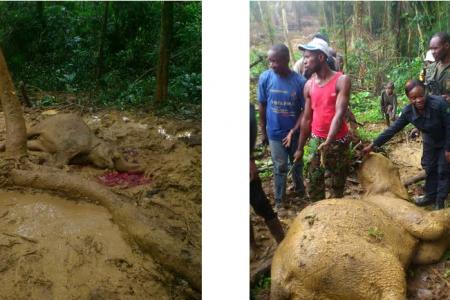 La Guarda Forestal y militares de Guinea Ecuatorial participan en la caza de una cría de elefante