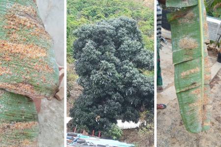 La Isla de Annobón se ve amenazada por una plaga de hongos